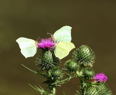 butterflies nectar: Three Brimstone butterflies foraging for nectar on a thistle