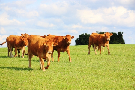 cattle breeding: Limousin cattle walking across a pasture in evening sunlight. Stock Photo