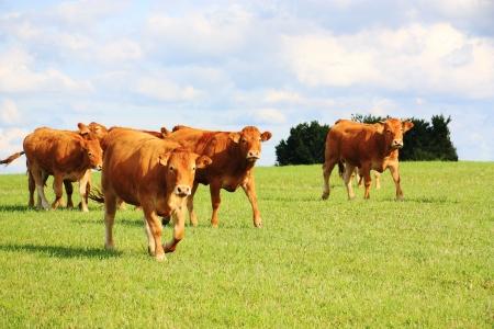 vee: Limousin runderen lopen over een wei land in avond zonlicht.