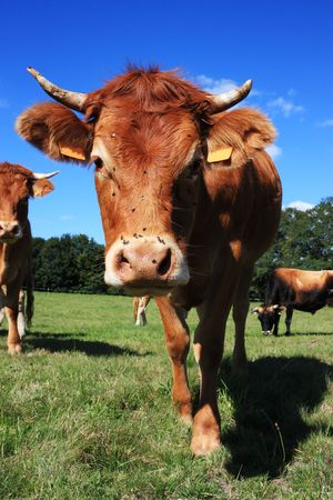 An Inquisitive Limousin Cow with summer flies peers at the camera