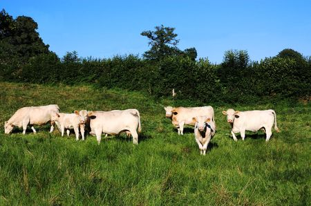 Charolais beef cattle in a green pasture insoft evening light. Stock Photo - 7877553