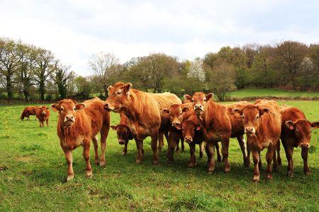 A line of wet young Limousin calves peer inquisitively at the camera in the spring rain. Stock Photo - 8063140