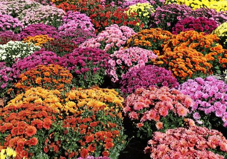 ornamental horticulture: Colourful background of pots of autumn chrysanthemums.