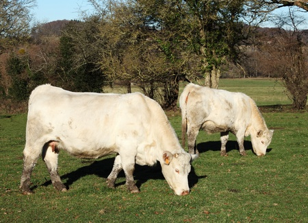 A white Charolais beef cow and her calf standing sideways grazing in a paddock photo