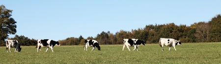 A panorama banner of a line of black and white Holstein Friesian cows walking across a pasture. photo