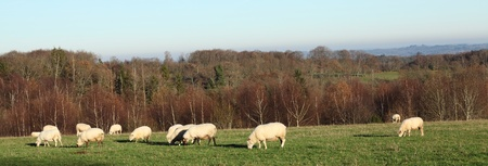 ewes: A panorama banner of a flock of sheep grazing in open countryside in winter evening sunlight. Stock Photo