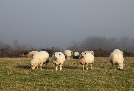 Sheep grazing in a misty pasture and standing in a single ray of sunshine. photo