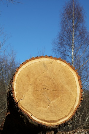 A close up showing detail of the growth rings on a freshly cut and logged oak tree trunk  Stock Photo
