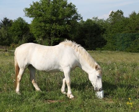nutrientes: A white horse enjoys a cube of mineralised horse lick used to supplement sodium chloride and nutrients in their diet. Foto de archivo