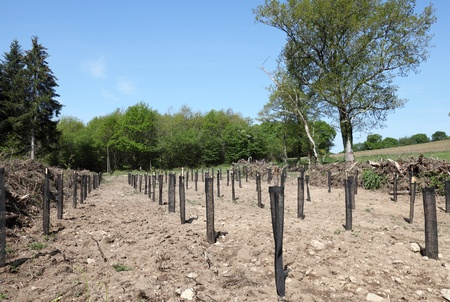 reclamation: In reforestation rows of young tree saplings are planted in protective netting to save the environment and provide renewable energy while replacing a pine plantation decimated during industrial logging