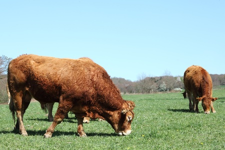 A large Limousin bull bred for beef grazes in a green pasture with a cow