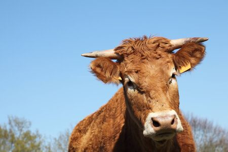 A closeup head portrait of a Limousin cow against a blue sky. Stock Photo - 9970647