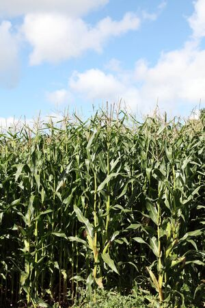 mealie: A full length view of growing maize plants with corn on the cob used as silage for animal fodder and as a sustainable biofuel. Stock Photo
