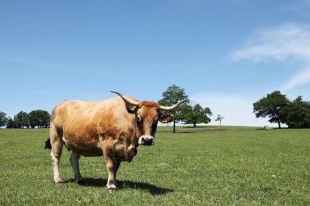 an ungulate: Un capriolo colorati Aubrac manzo mucca, conosciuto anche come Laguiole, originatasi in Auvergne in Francia