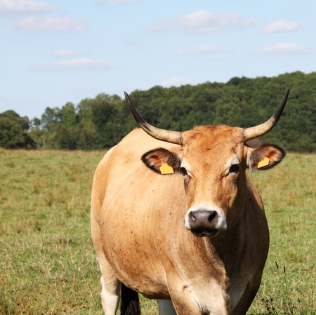 hardy: A reddish buckskin ParthenaisePartenais cow  breed which originated in Central France was bred for its milk yield to produce butter, as a draught animal and, today, for beef production. Stock Photo