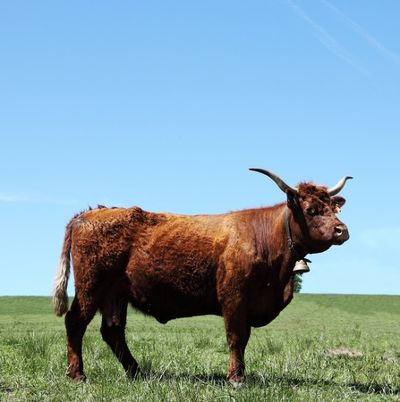 ranching: A mahogany red salers cow . The mahogany red Salers cattle breed is one of the oldest in the world and originated in the Auvergne, France where it is raised for beef although some are still used for milk to produce traditional cheeses. Stock Photo