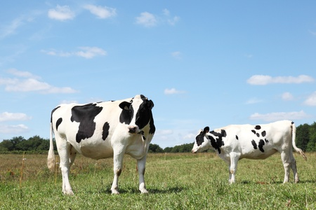 Two black and white Holstein Friesian dairy cows in a pasture. photo