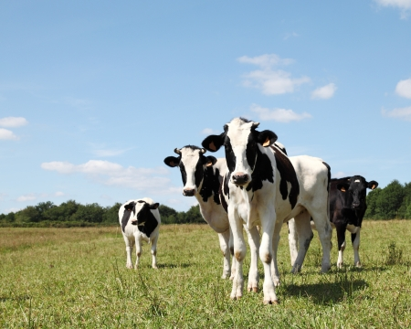Shy young Holstein dairy heifers looking at the camera. Stock Photo