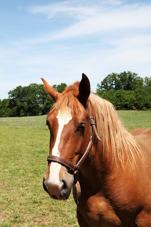 Head portrait of a chestnut horse wearing a halter and standing in an open paddock. photo