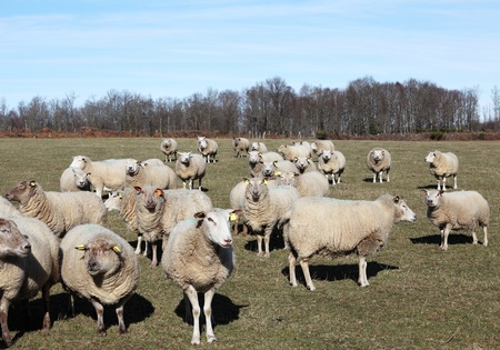 Flock of inquisitive sheep in winter pasture facing camera.