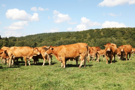 A herd of Limousin beef cows and calves grazing in a sunny pasture photo