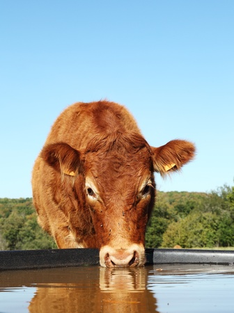Low angle shot of a Limousin beef cow drinking water from a tank with reflection.