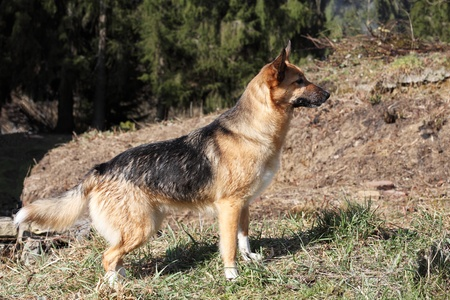 Alert young Alsation or German Shepherd dog in a clearing in a forest