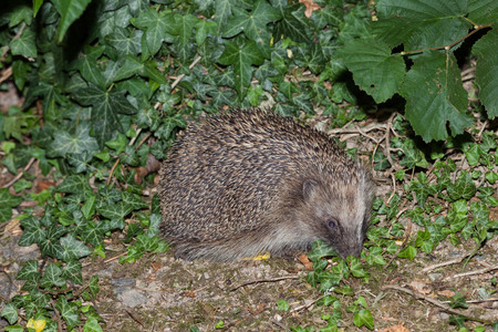 fill fill in: Feral European  hedgehog, Erinaceus europaeus,  foraging in a garden at night against a backdrop of ivy, flash fill light Stock Photo