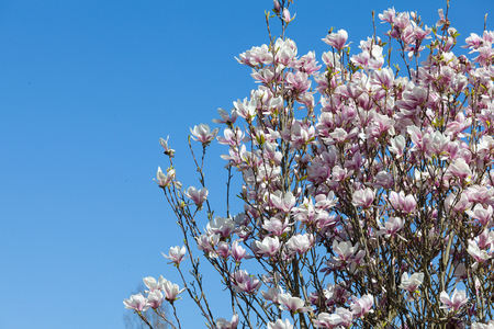 ornamental horticulture: Display of pink magnolia flowers on a tree in spring against a clear sunny blue sky with copyspace, close up view