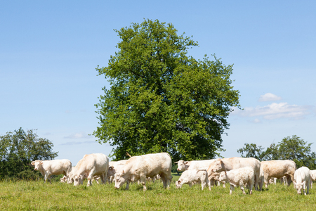 Herd of white Charolais beef cows and calves grazing in a lush green pasture on a farm  in spring in front of a leafy green tree with blue sky background. Partial unshed winter coats Stock Photo