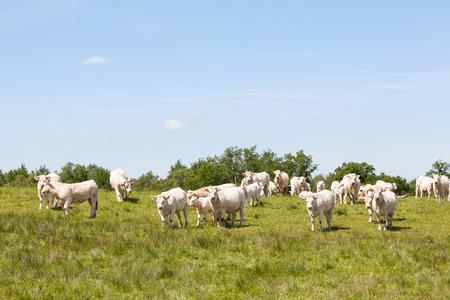 calas blancas: Gran manada de vacas Charolais blanco y terneros de pie mirando a la cámara en un pasto verde enorme en sol de primavera. Criada por su carne.