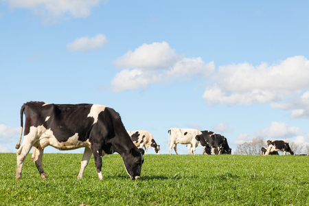 holstein cow: Black and white Holstein dairy cow grazing in a green pasture on the skyline against a blue sky and white clouds with copy space with the cattle herd in the background
