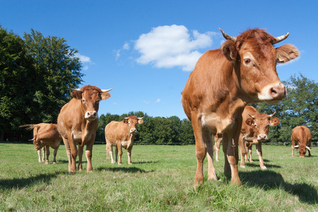 eyeing: Curious young red brown  Limousin beef cow eyeing up the camera in a pasture  watched closely by the rest of the herd in the background on a sunny summer day Stock Photo