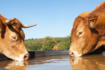 limousin: Two thirsty Limousin beef cows drinking from a plastic  water tank in a pasture, close up side view of their heads on opposite sides of the tank