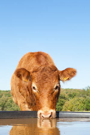 Face of a red brown Limousin beef cow drinking water from a plastic tank in a sunny pasture looking alertly at the camera, close up view