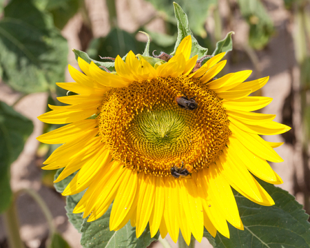 bombus: Two Bombus spp. bumblebees pollinating a sunflower or Helianthus  in an agricultural field as they forage for pollen on the bright yellow flower head