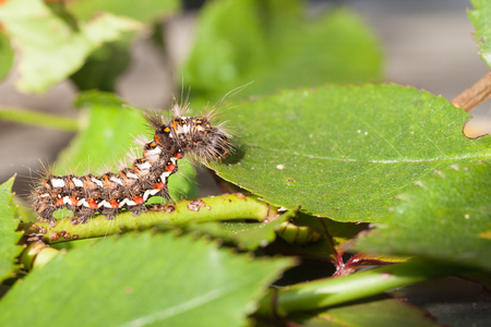 the larvae: Side view of the Caterpiller larvae of the Knottgrass Moth , Acronicta rumicis, foraging on rose leaves, close up side view