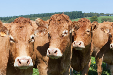 Line of Limousin beef cows in lush green French countryside, close up head shot with focus to the middle cow