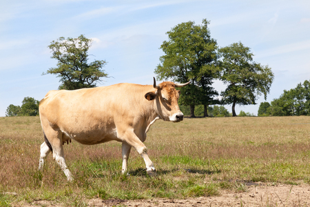side of beef: Aubrac beef cow walking across a summer pasture with a cloud of flies buzzing around her head, side view Stock Photo