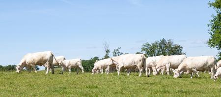 calas blancas: Bandera del panorama de una manada de vacas blancas y los terneros Charolais que pastan en un pasto del resorte de hierba grren en el horizonte Foto de archivo