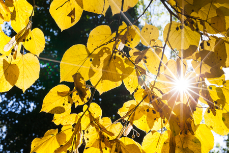changing seasons: Bright sunburst through vibrant yellow linden tree leaves in autumn or fall in a symbolic background showing the changing seasons Stock Photo