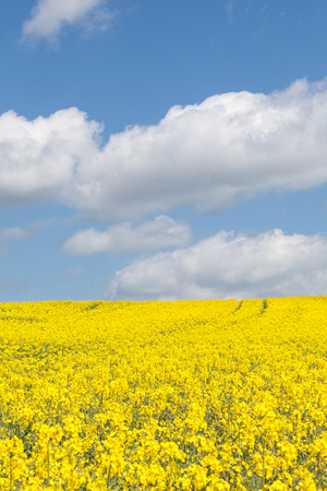 napus: Colorful yellow rape field, Brassica napus, colza, canola, rapaseed, rapeseed, under a sunny blue sky with fluffy white clouds