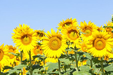 a crop: Bright yellow sunflowers or Helianthus growing in an agricultural field against a sunny blue sky, focus to central flower, cultivated for their seeds and oil Stock Photo