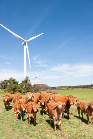 windfarms: Herd of inquisitive Limousin beef cows and calves standing in a pasture below a wind turbine looking at the camera - coexistence of agriculture and renewable energy