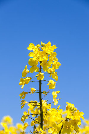 biodiesel plant: Detail of a bright yellow rapeseed flower, Brassica napus against a blue sky with copy space. Also called colza, rapaseed, oilseed and canola