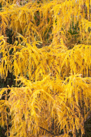 changing seasons: Vibrant yellow  autumn or fall foliage  on a larch tree in close up detail in a full frame view showing the changing seasons