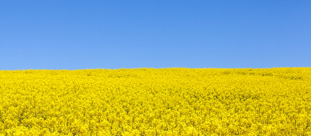 rapaseed: Panorama view of a field of bright yellow rapeseed , Brassica napus, or canola against a clear sunny blue sky, also known as colza, rapaseed , rape and oilseed