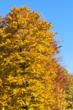 changing seasons: Vibrant yellow beech tree with autumn foliage  at the edge of woodland against a sunny blue sky showing the changing seasons Stock Photo