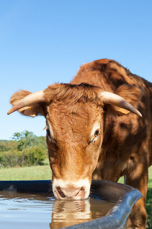 Limousin beef cow with long horns drinking water at a tank, close up head shot in a shaft of sunlight  with copy space Stock Photo