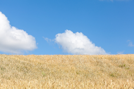 cereal plant: Ripening golden summer wheat field , skyline  view with blue sky and fluffy white clouds and copy space in an agricultural landscape